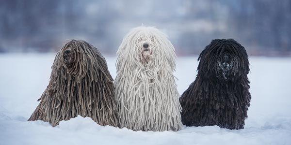 3 Hunde Rasse Puli grau weiss schwarz im Schnee sitzend