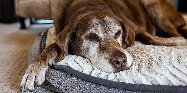 alter Hund liegt bequem auf Hundebett