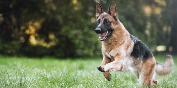 Deutscher Schäferhund auf Wiese