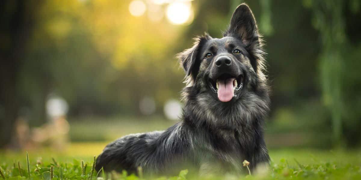 dunkler Hund liegt in einer grünen Wiese