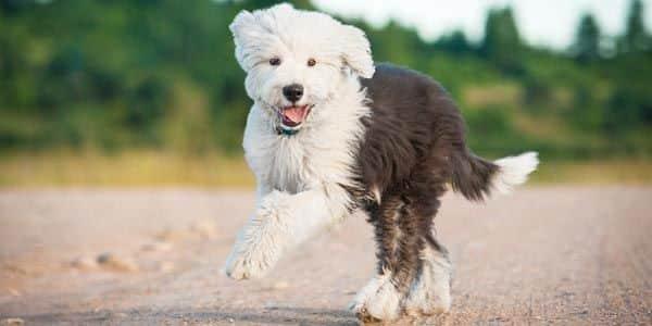 Hund Rasse Bobtail Welpe Sommer