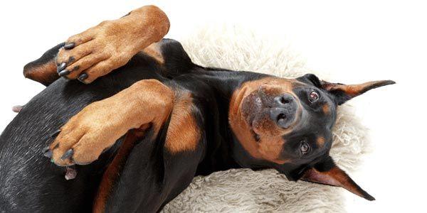 Hund Rasse Dobermann liegt auf Rücken