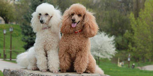 2 Hunde Rasse Pudel auf Baumstumpf