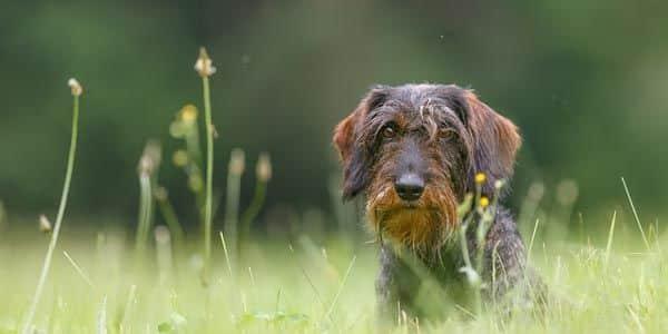 Hund Rasse Rauhaardackel in grüner Wiese