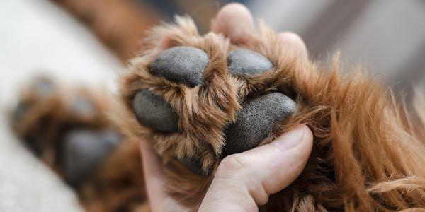 Hundepfote Fell pflegen unten